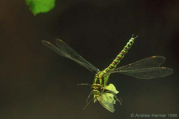 Green dragonfly pictures - photo#47