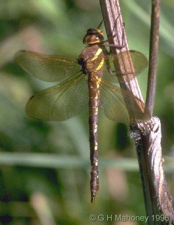 http://www.ghmahoney.org.uk/dragonfly/aegra02.jpg